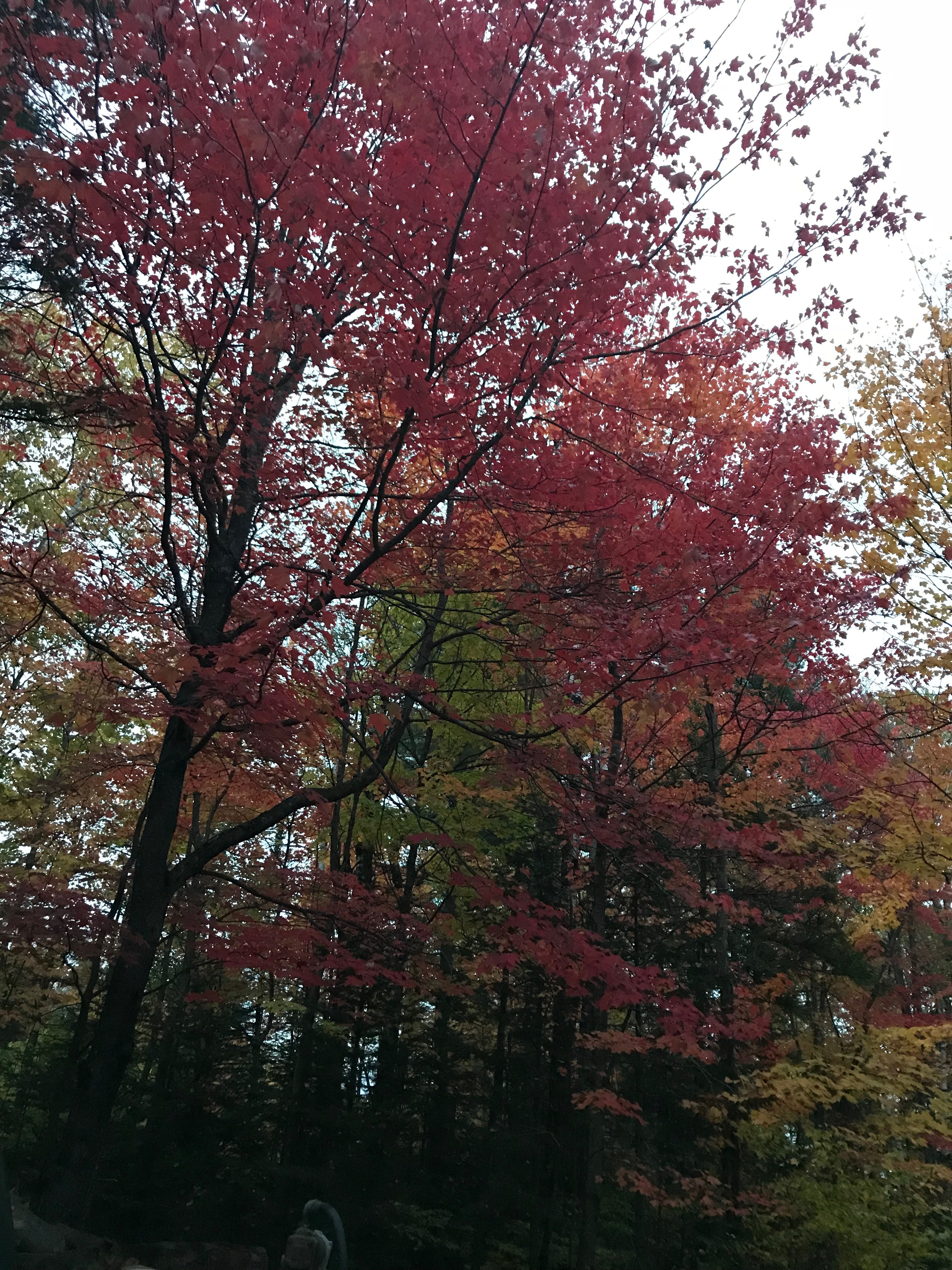 Free stock photo of fall, maple tree, red maple leaves