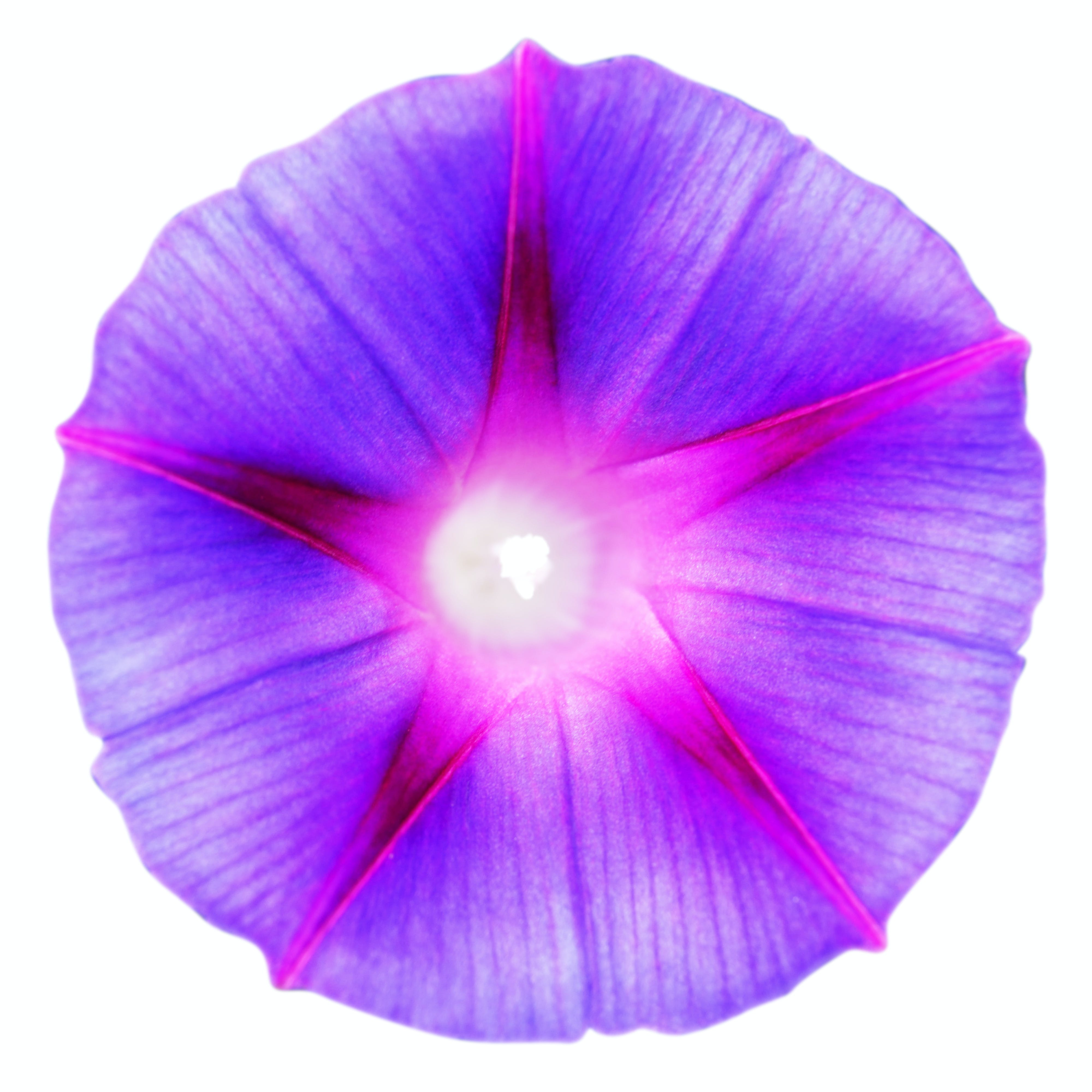 Purple and Pink Morning Glory Flower Clip Art