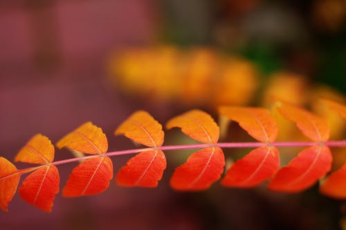 Depth of Field Photography of Orange Double Compound Leaf