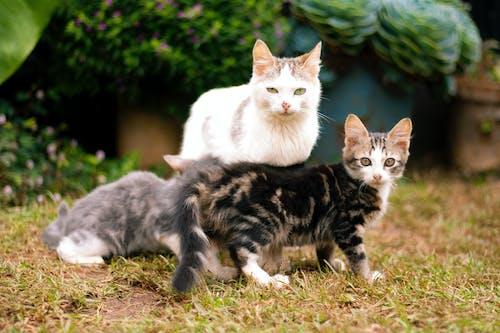 Fotos de stock gratuitas de felino, gatitos, gatos, madre