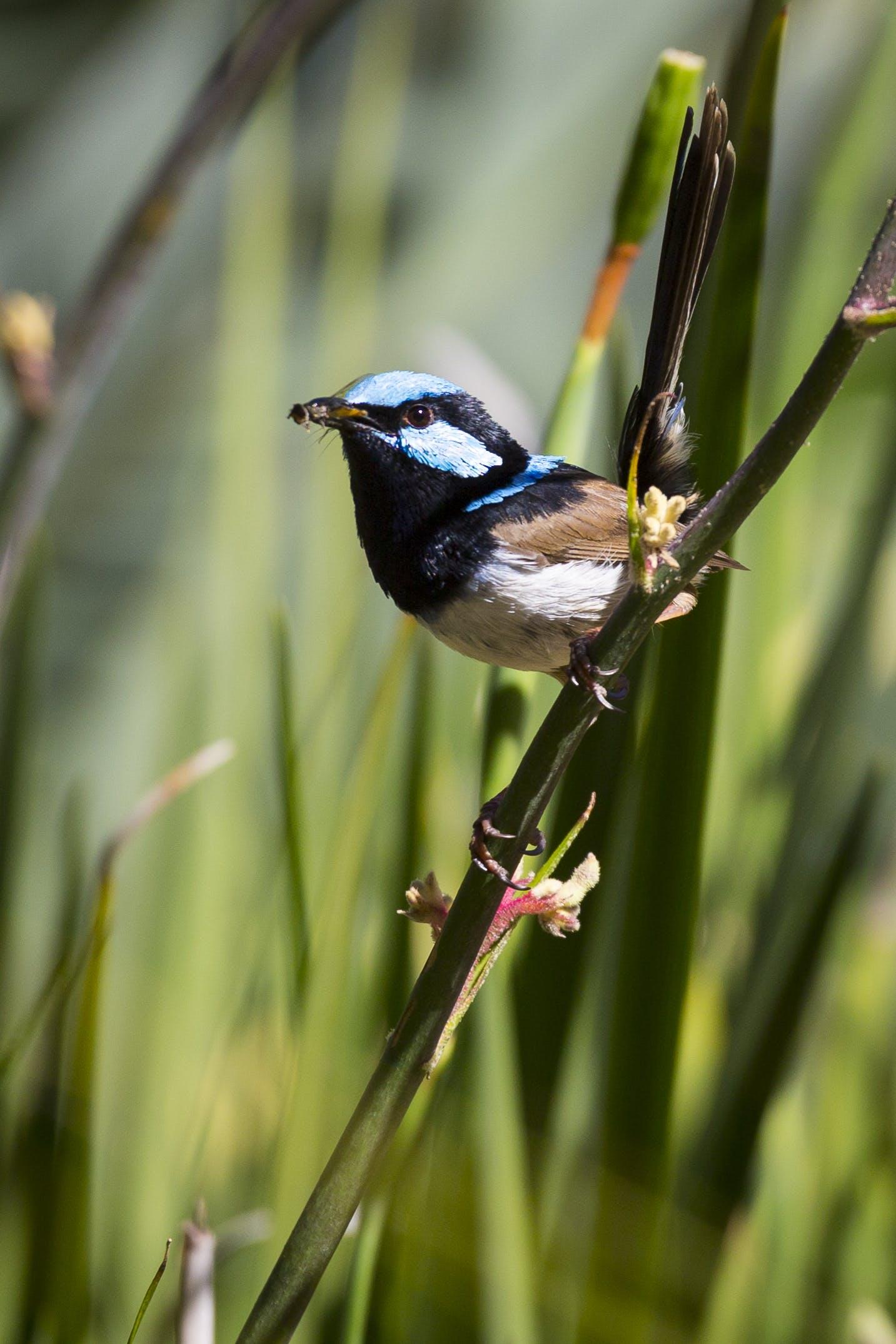 Free stock photo of australia, bird, nature, wren