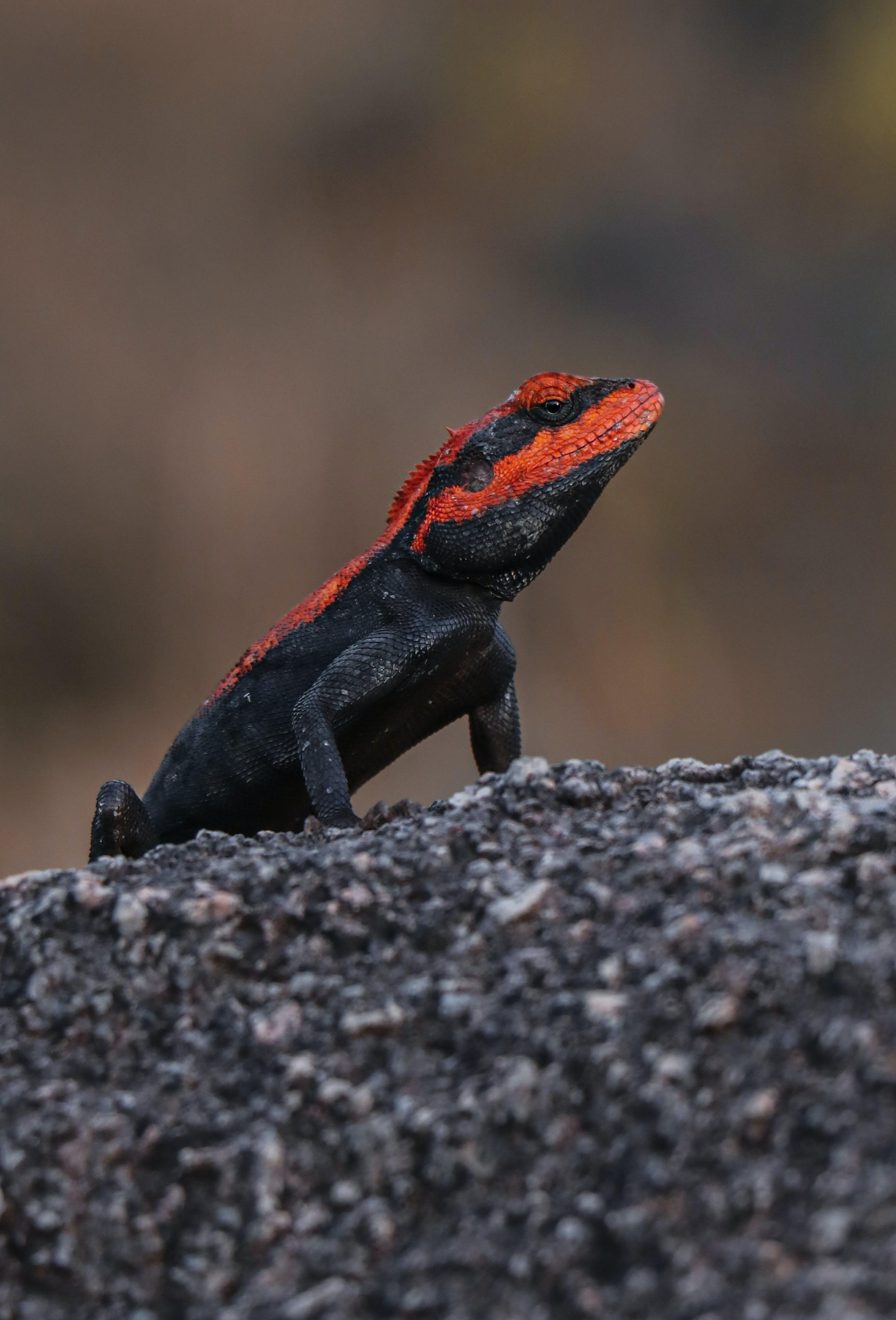 Free stock photo of black, canon, chameleon, dumna