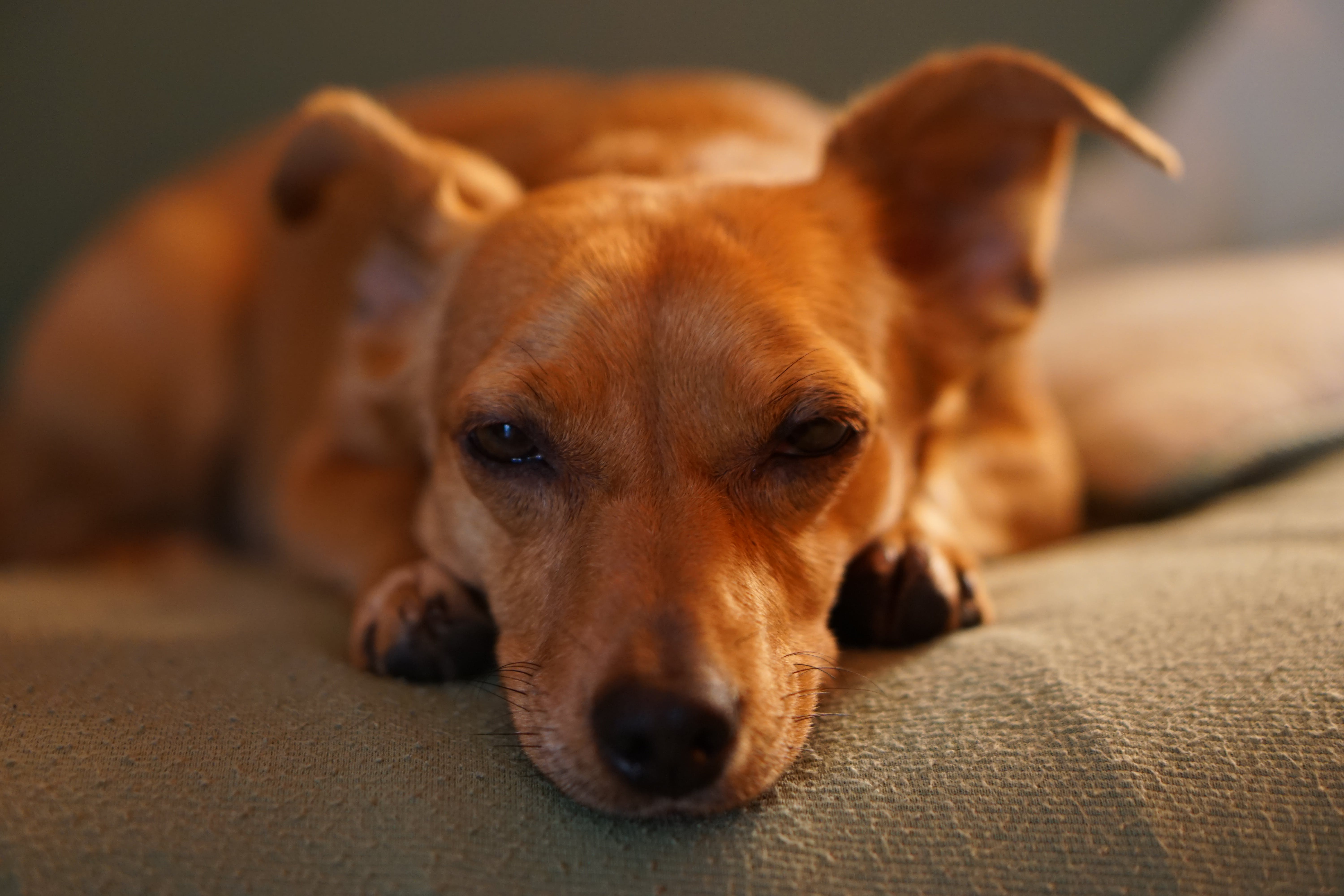 Adult Smooth Brown Dog Lying on Gray Bed Linen Close-up Photo