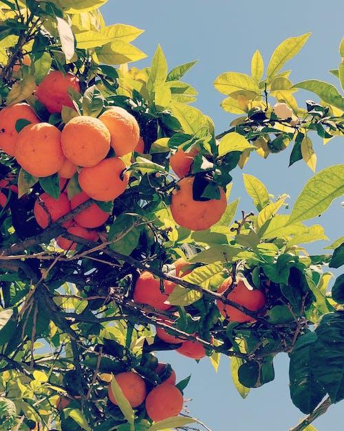 Free stock photo of citrus fruit, fresh fruit, fruit, fruit tree