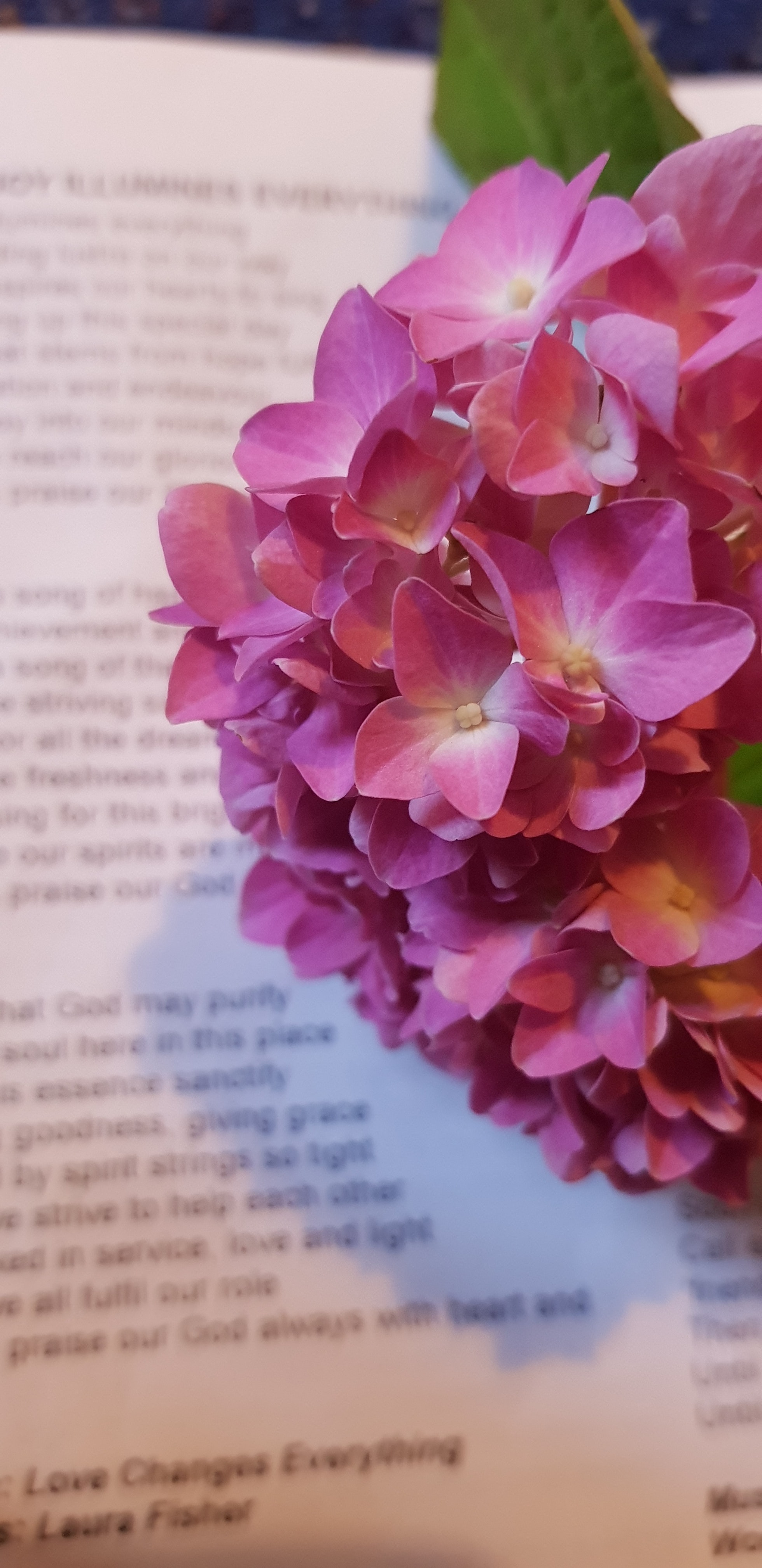 Free Stock Photo Of Hydrangea Pink Flower Song Book
