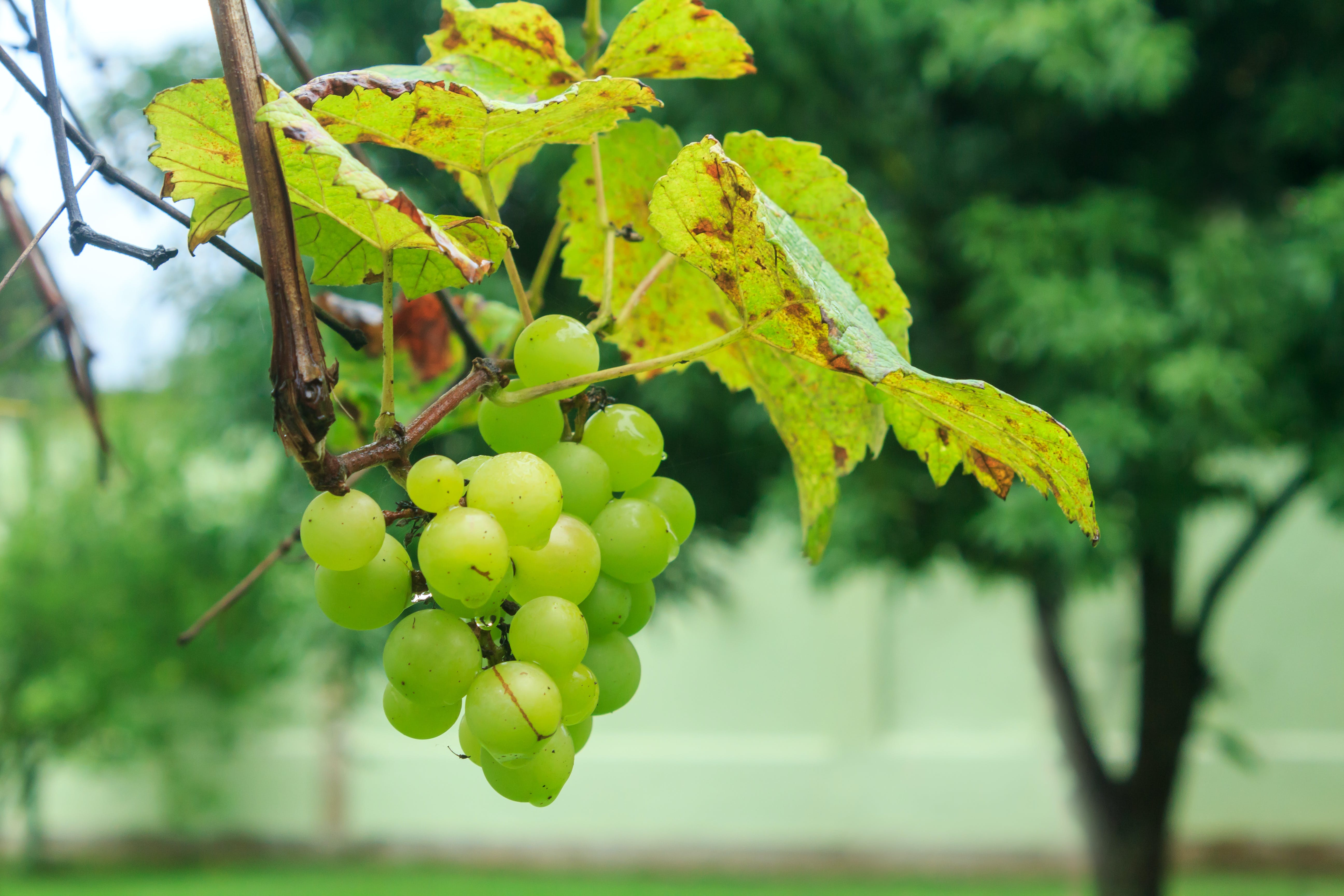 Free stock photo of grapes, fresh fruit, grape, bunch of grapes