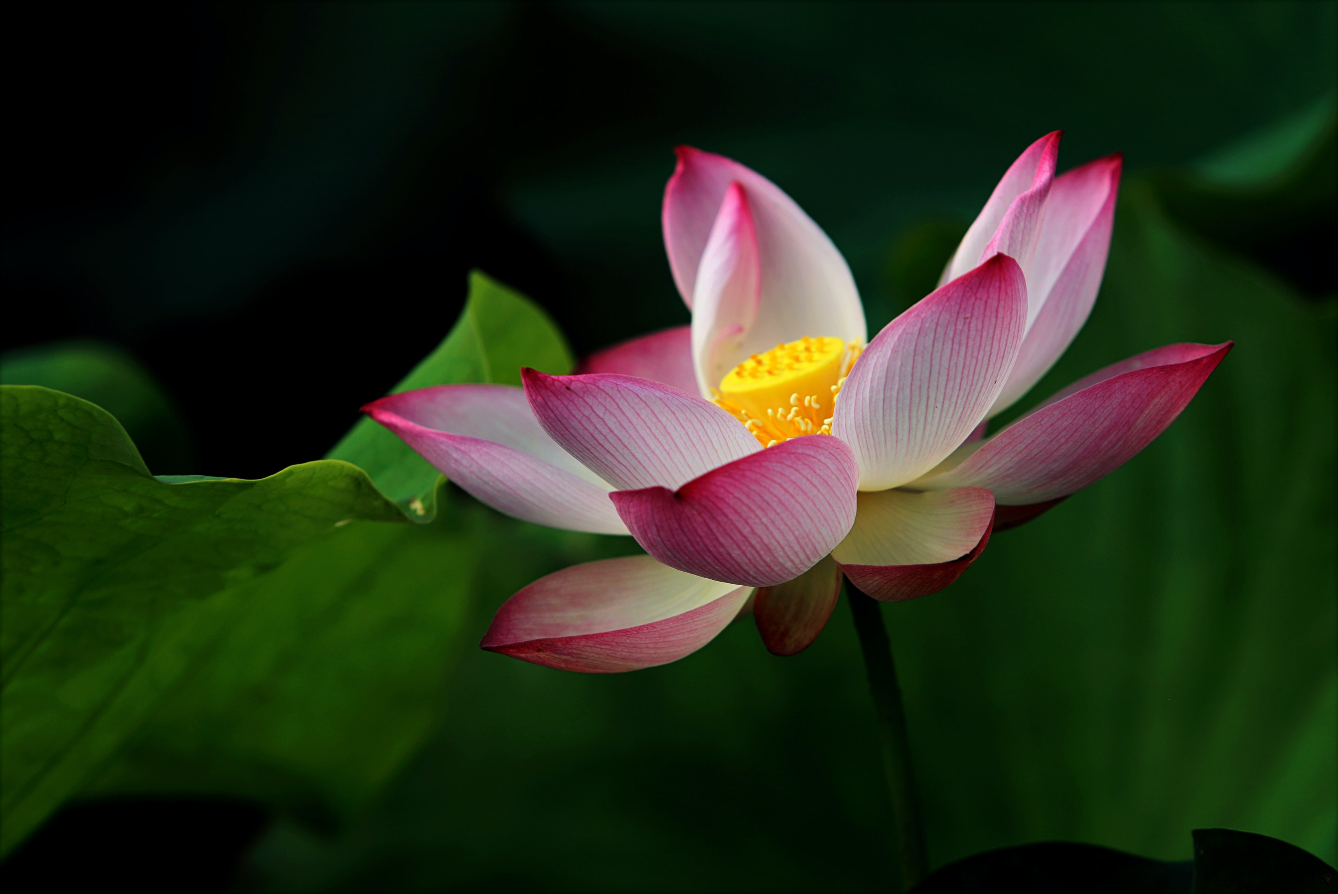 43 relaxing lotus images pexels free stock photos fetching more photos izmirmasajfo