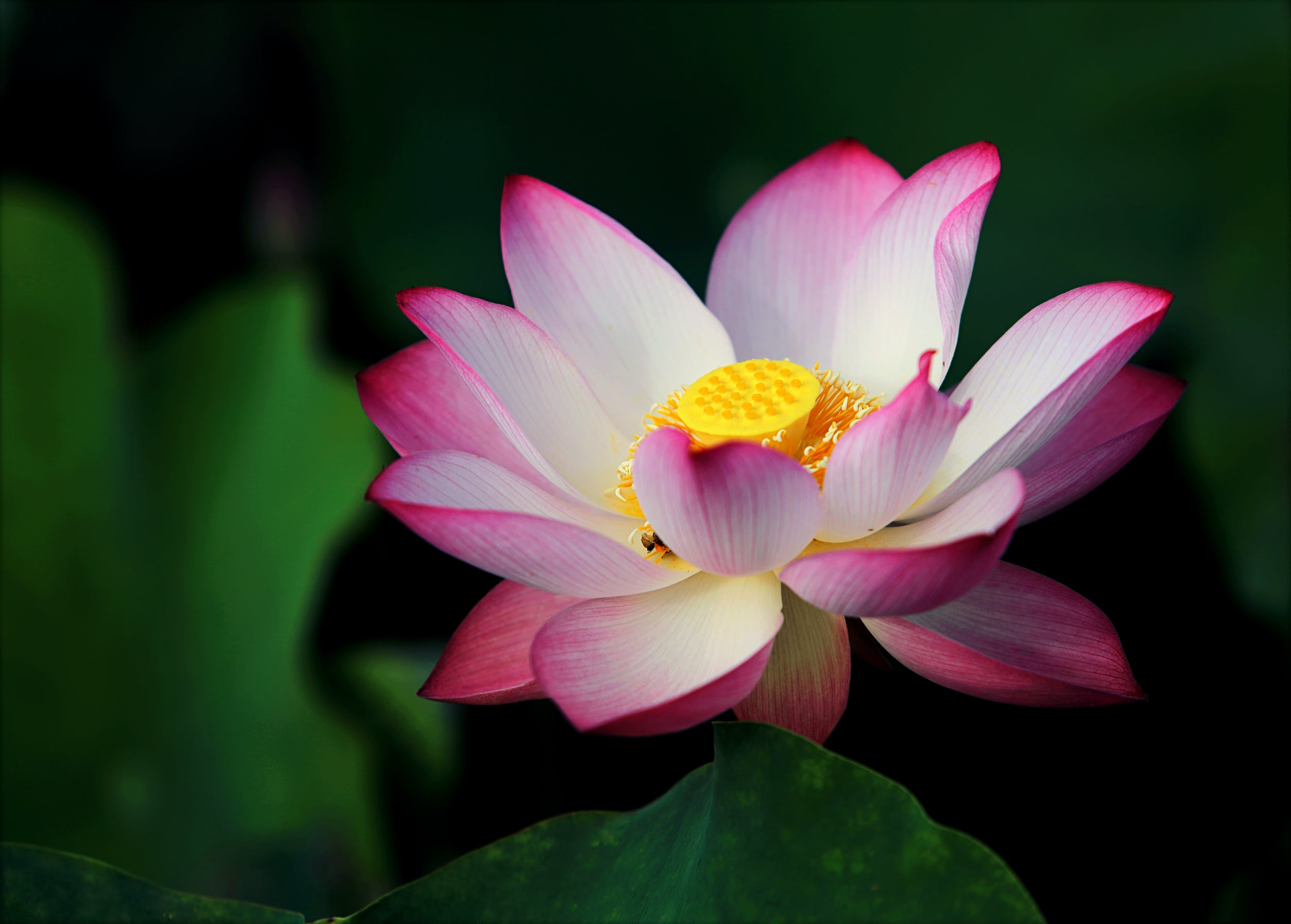 Focus Photo Pink and White Lotus Flower