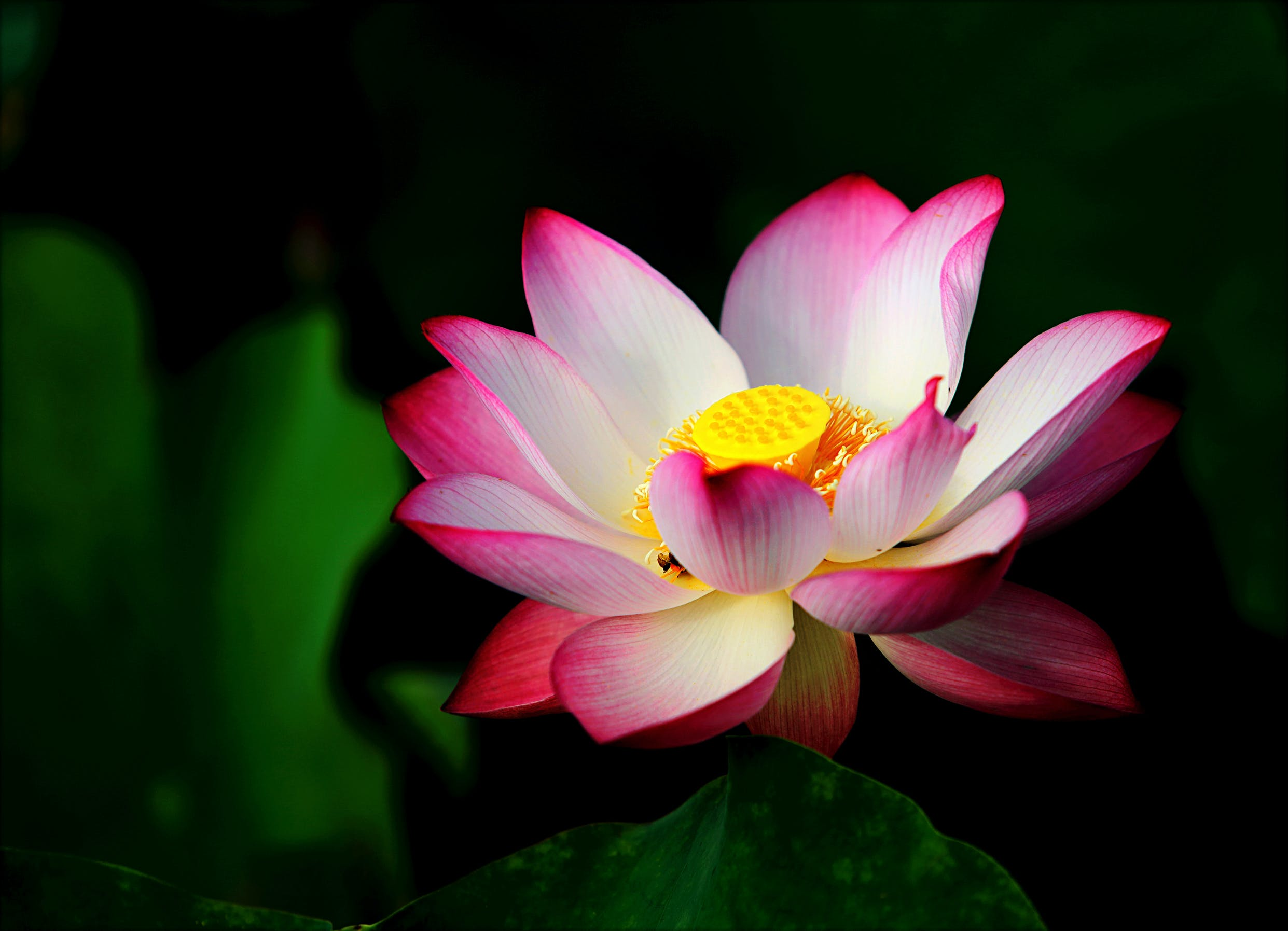 Pink Lotus in Bloom Selective Focus Photo