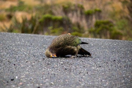 Free stock photo of kea
