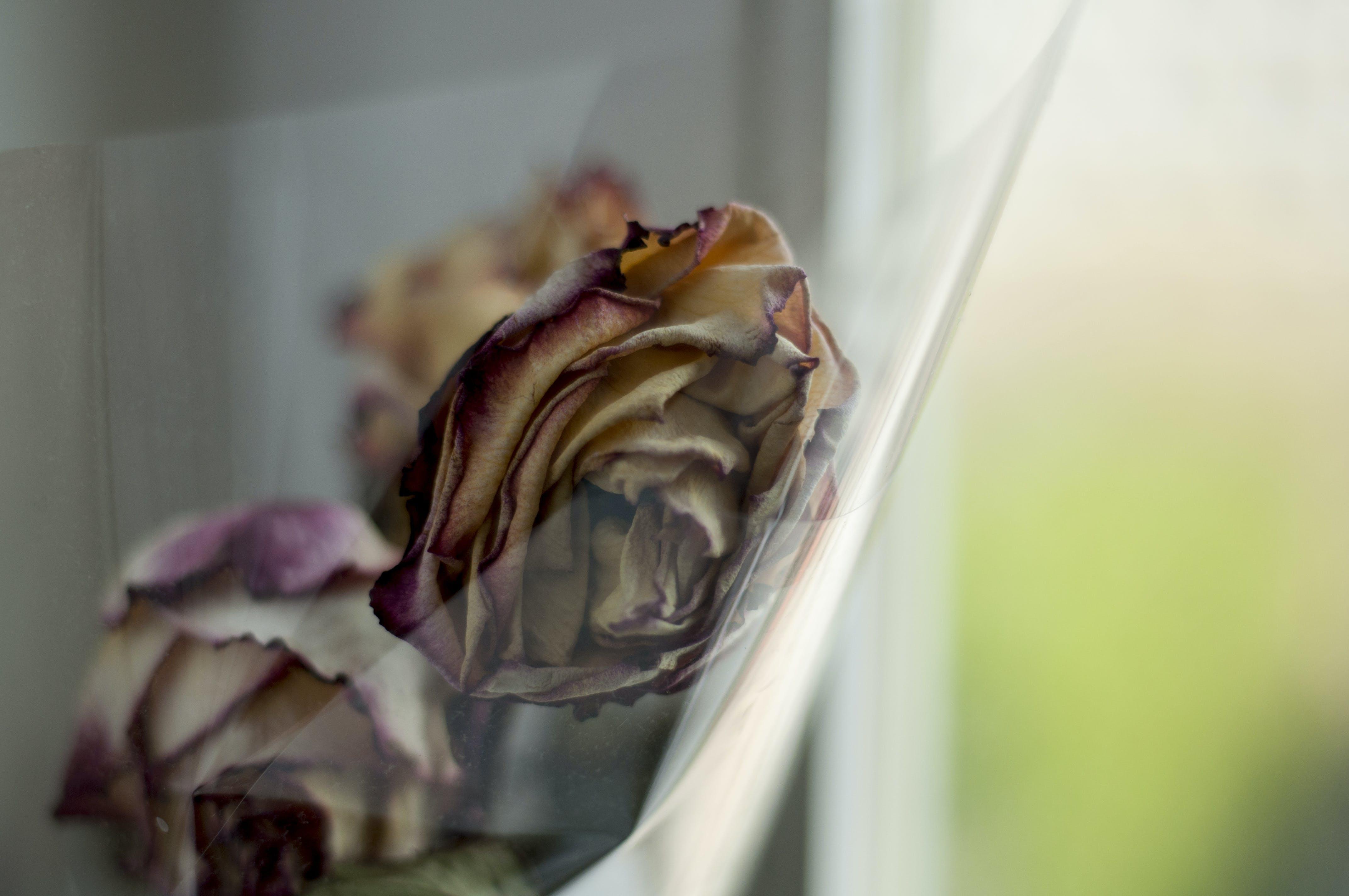 Free stock photo of dead, flower, herbarium, rose