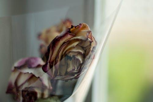 Imagine de stoc gratuită din decedat, floare, ierbar, trandafir