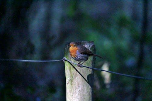 Бесплатное стоковое фото с #robin #bird #forest #birdwatching # природа