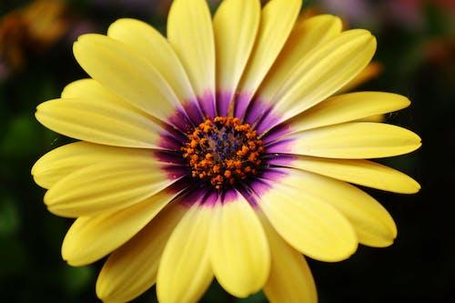 Бесплатное стоковое фото с #osteospermum #flower #petals #nature