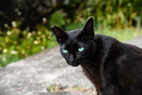 Δωρεάν στοκ φωτογραφιών με μάτι γάτας, μαύρη γάτα