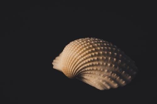 Foto profissional grátis de concha, concha do mar, fruto do mar