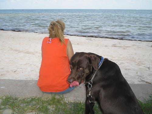 Free stock photo of Chocolate-Lab, Dog near girl