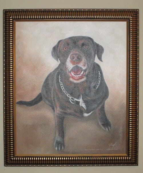 Free stock photo of Dog portrait chocolate-lab