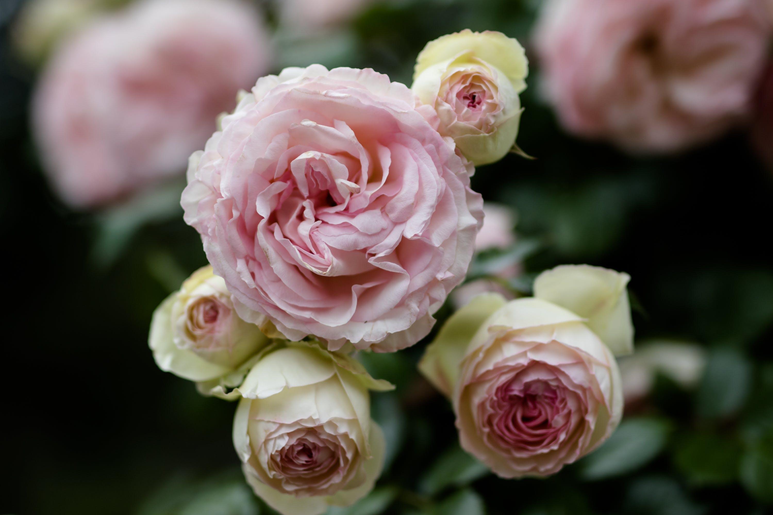 Kostenloses Stock Foto zu blumen, garten, rosen, grün
