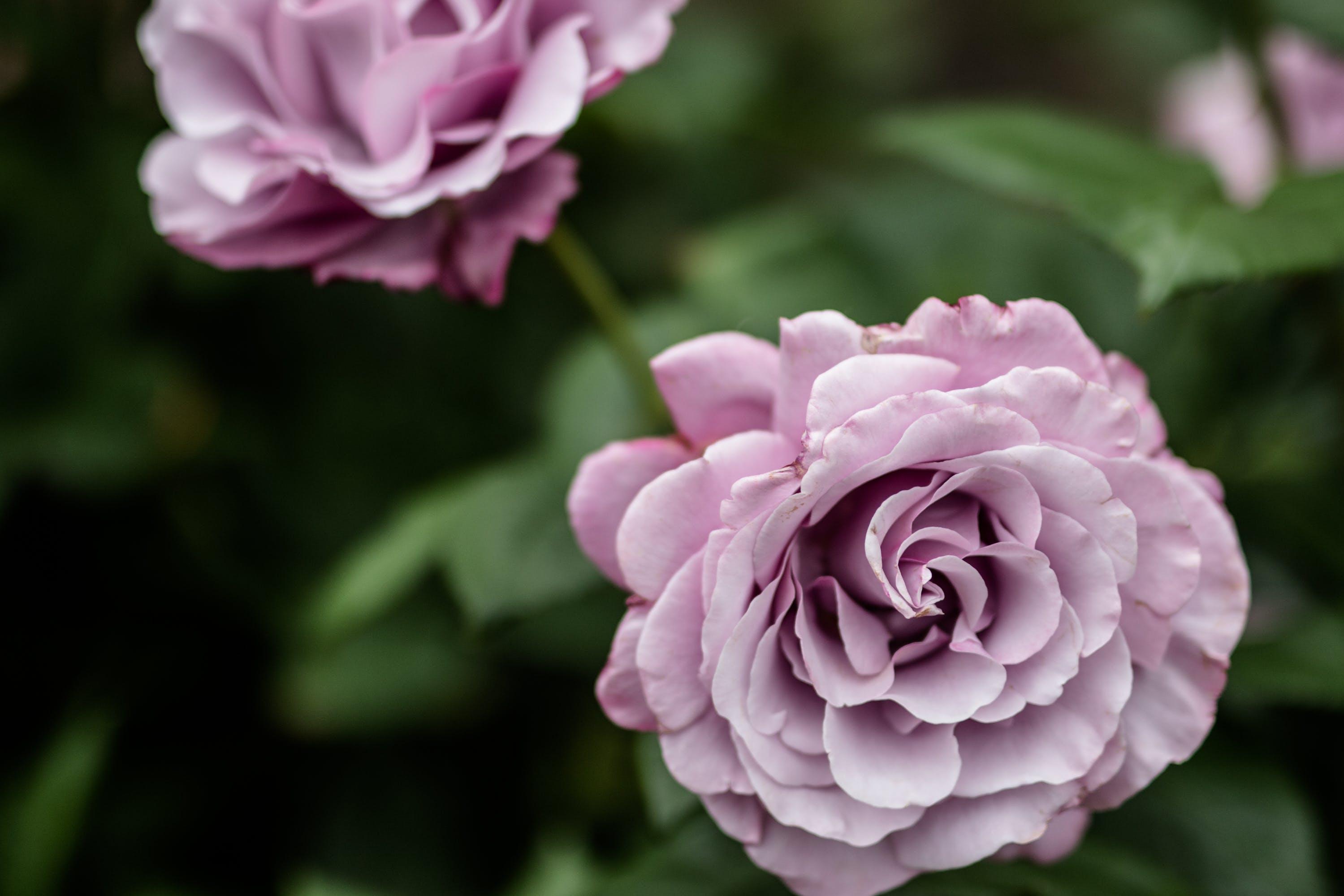 Kostenloses Stock Foto zu blumen, lila, garten, rosen