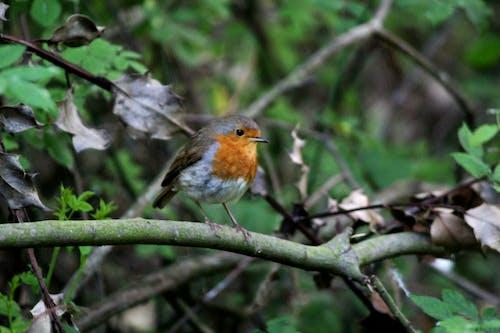 Бесплатное стоковое фото с #robin #birdwatching #nature #trees #wildlife