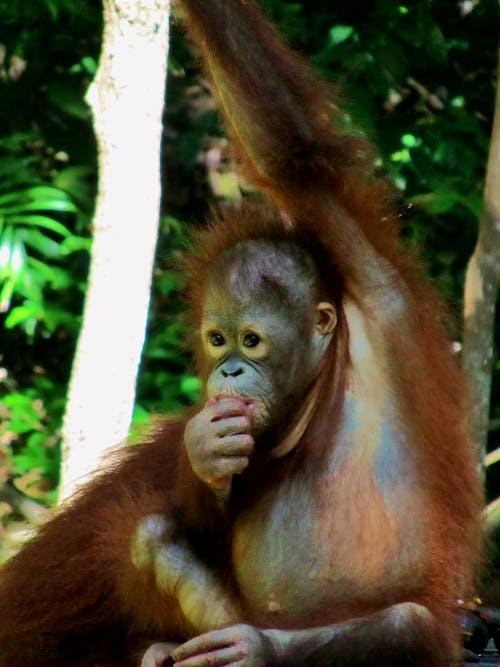 Бесплатное стоковое фото с #orangutan #baby #monkey #wildlife #nature