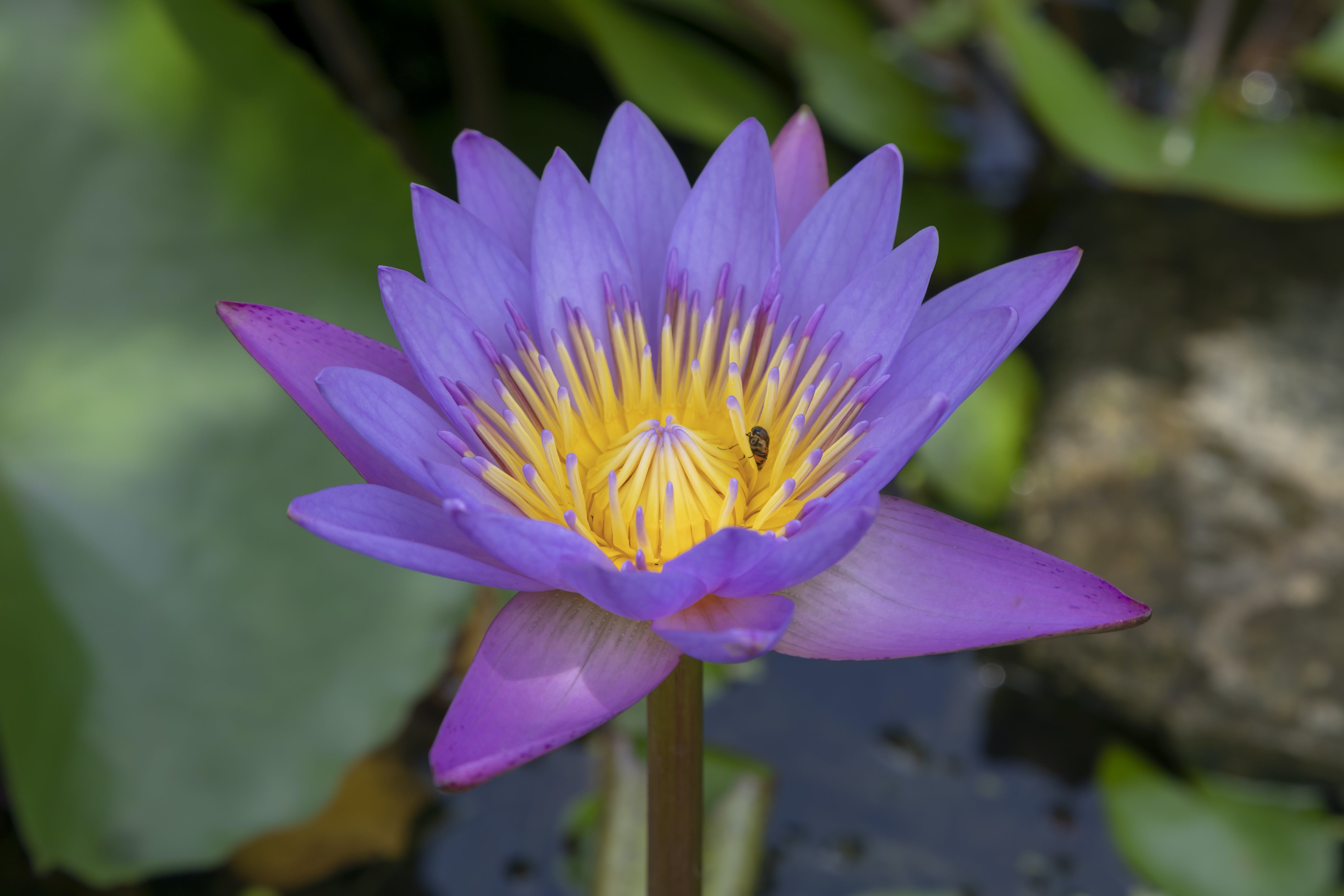 Free stock photo of aquatic, asia, beautiful, beauty