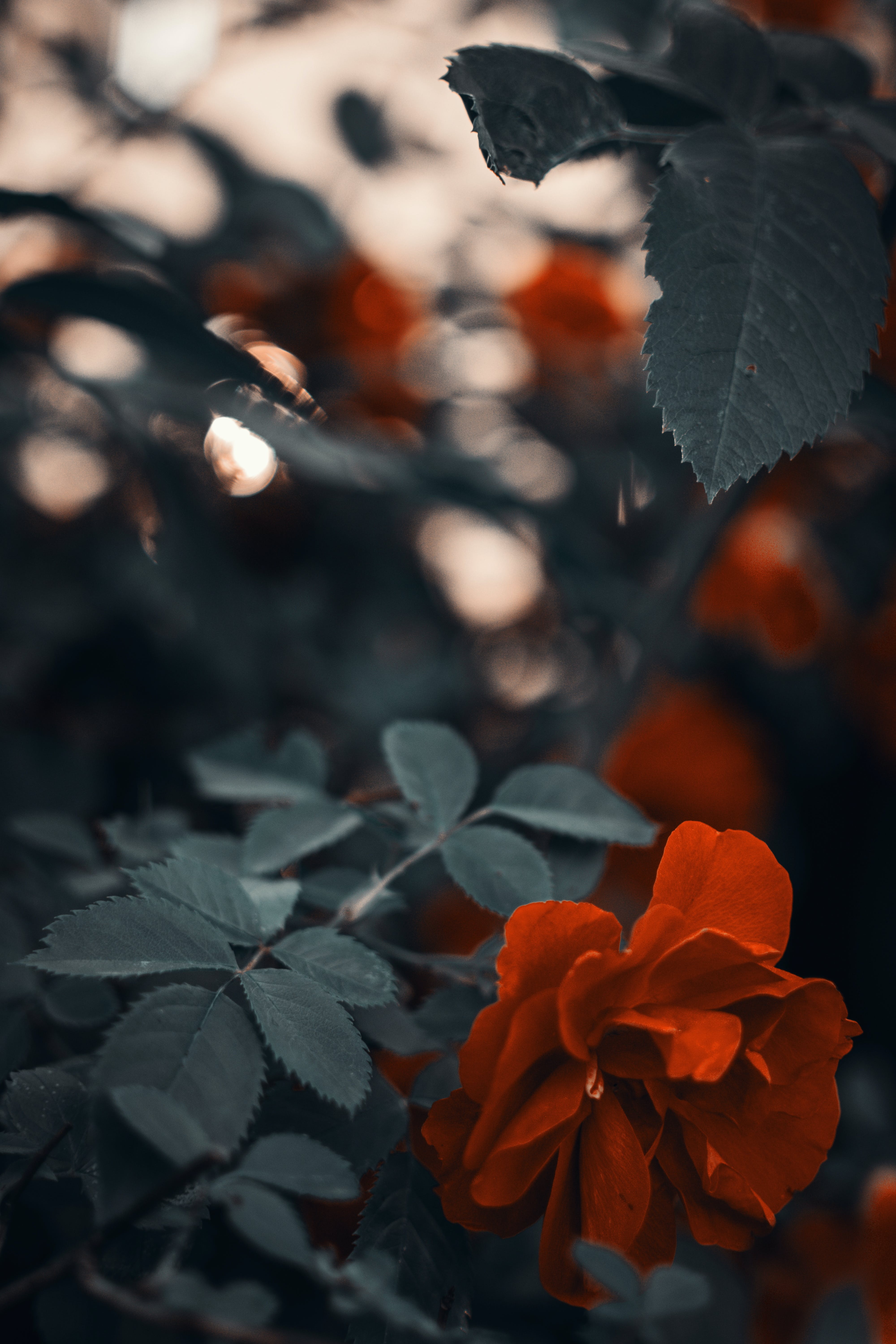Photo of Red Rose