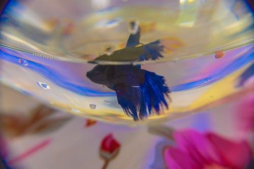 Gratis lagerfoto af akvarium, beta, fisk, flaske