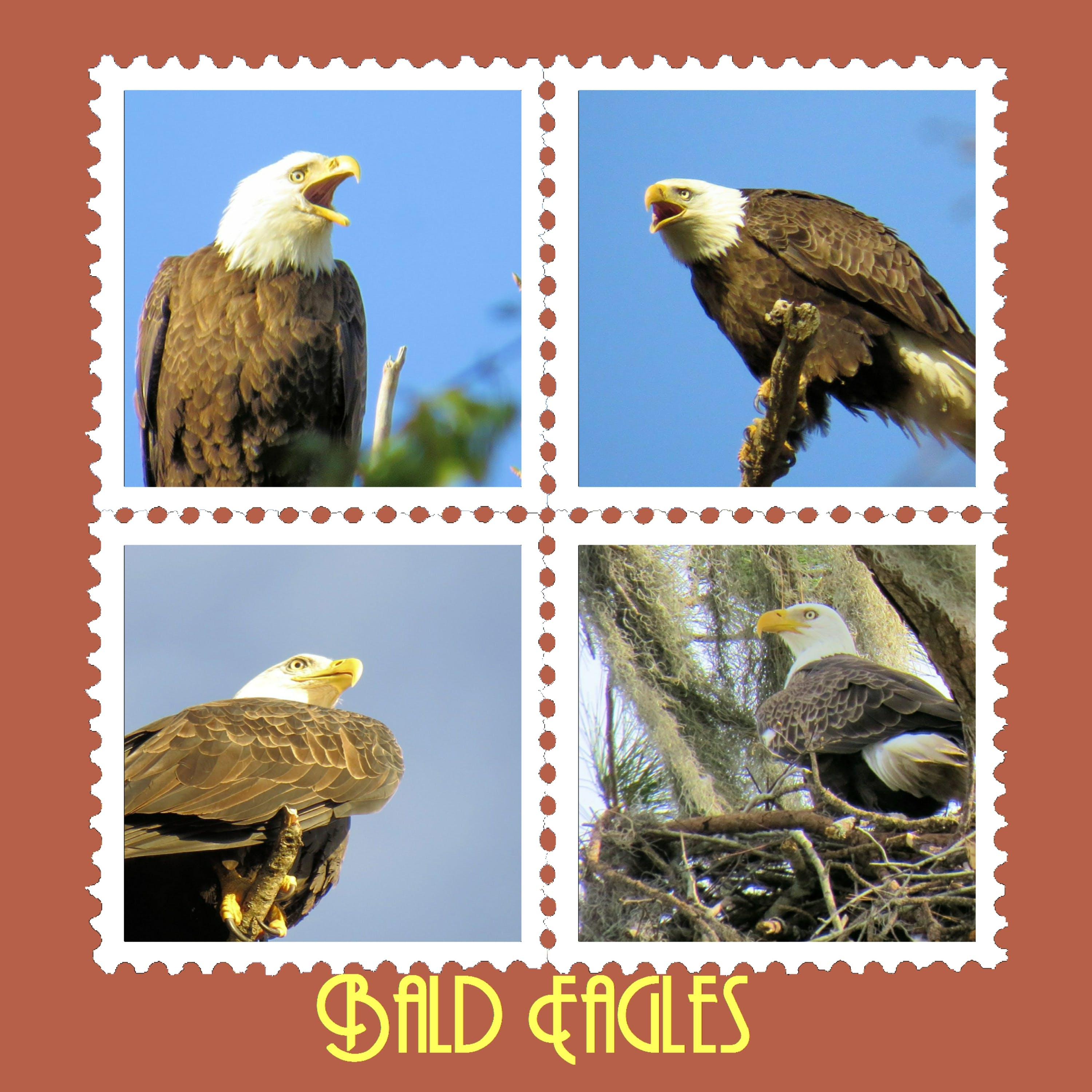 Free stock photo of bald eagle, birds, stamps