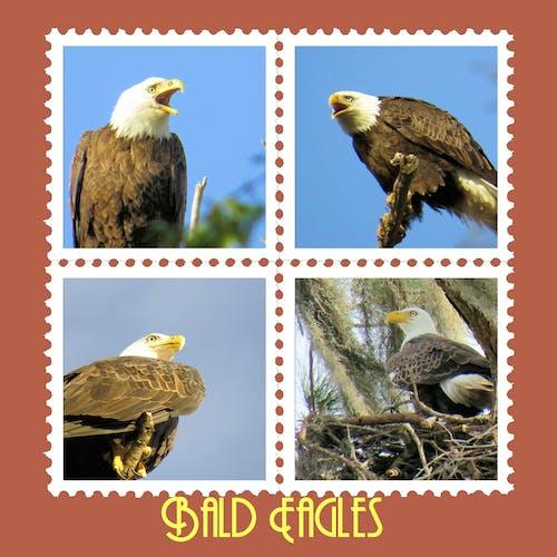 Fotos de stock gratuitas de Águila calva, sellos