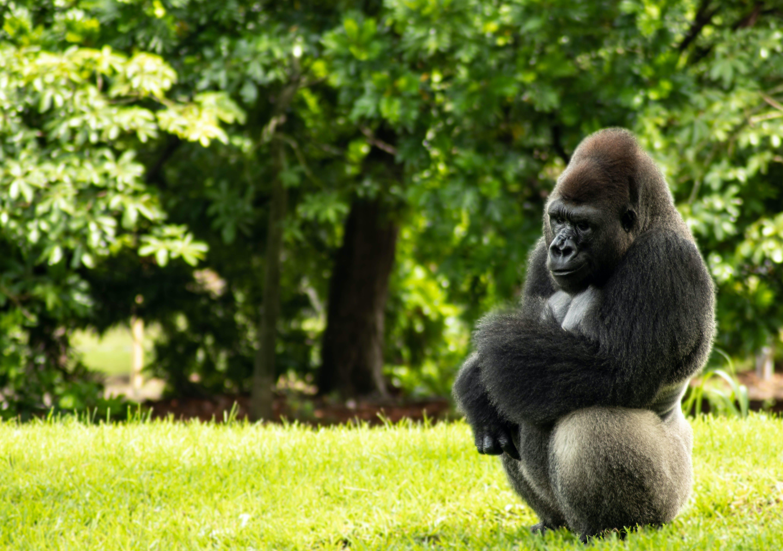 gorilla, mammal, sunny