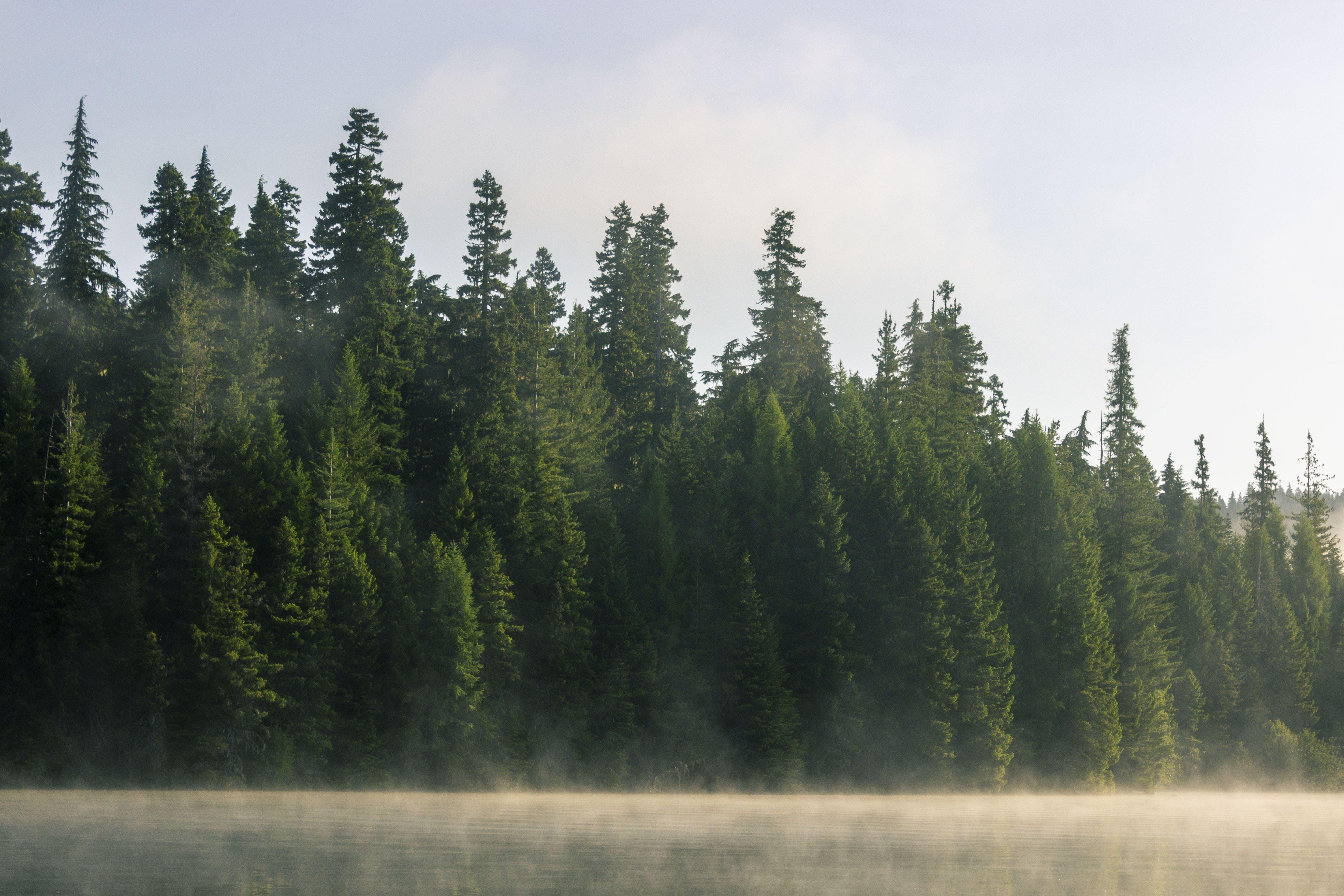 森林, 樹木, 霧 的 免费素材照片