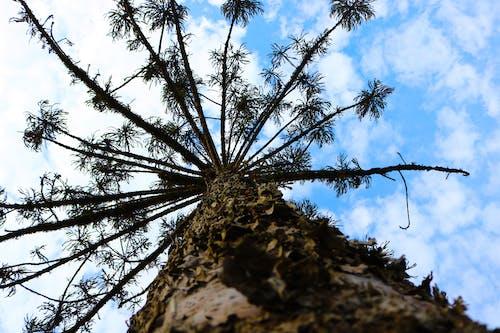 Gratis lagerfoto af araucaria, pinheiro, sul do brasil