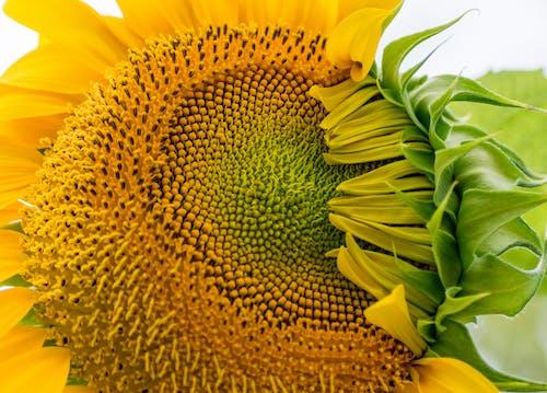 Gratis stockfoto met bloemen, fabrieken, tuin, zonnebloem