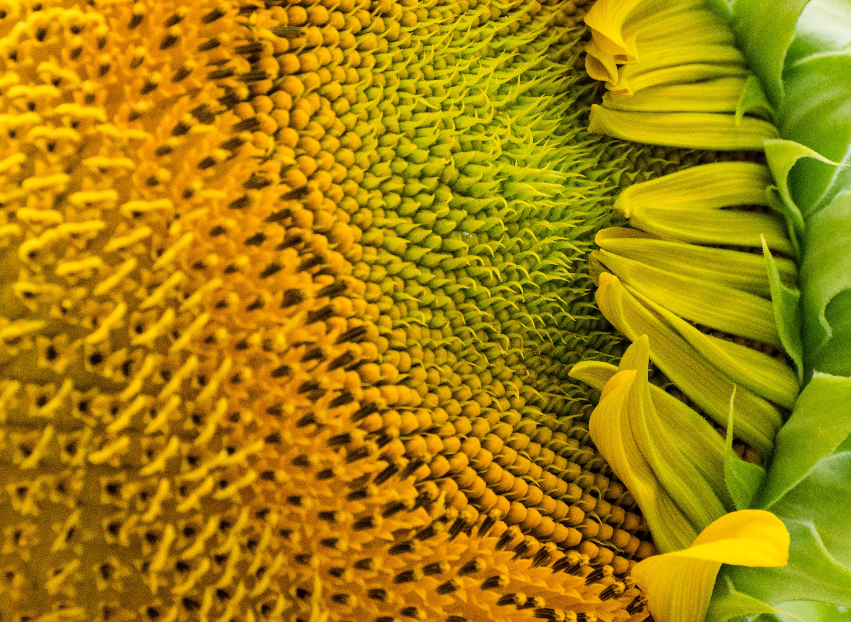 Free stock photo of summer, yellow, sunflower, macro photo