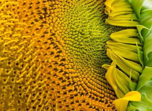 Gratis stockfoto met geel, macrofoto, zomer, zonnebloem