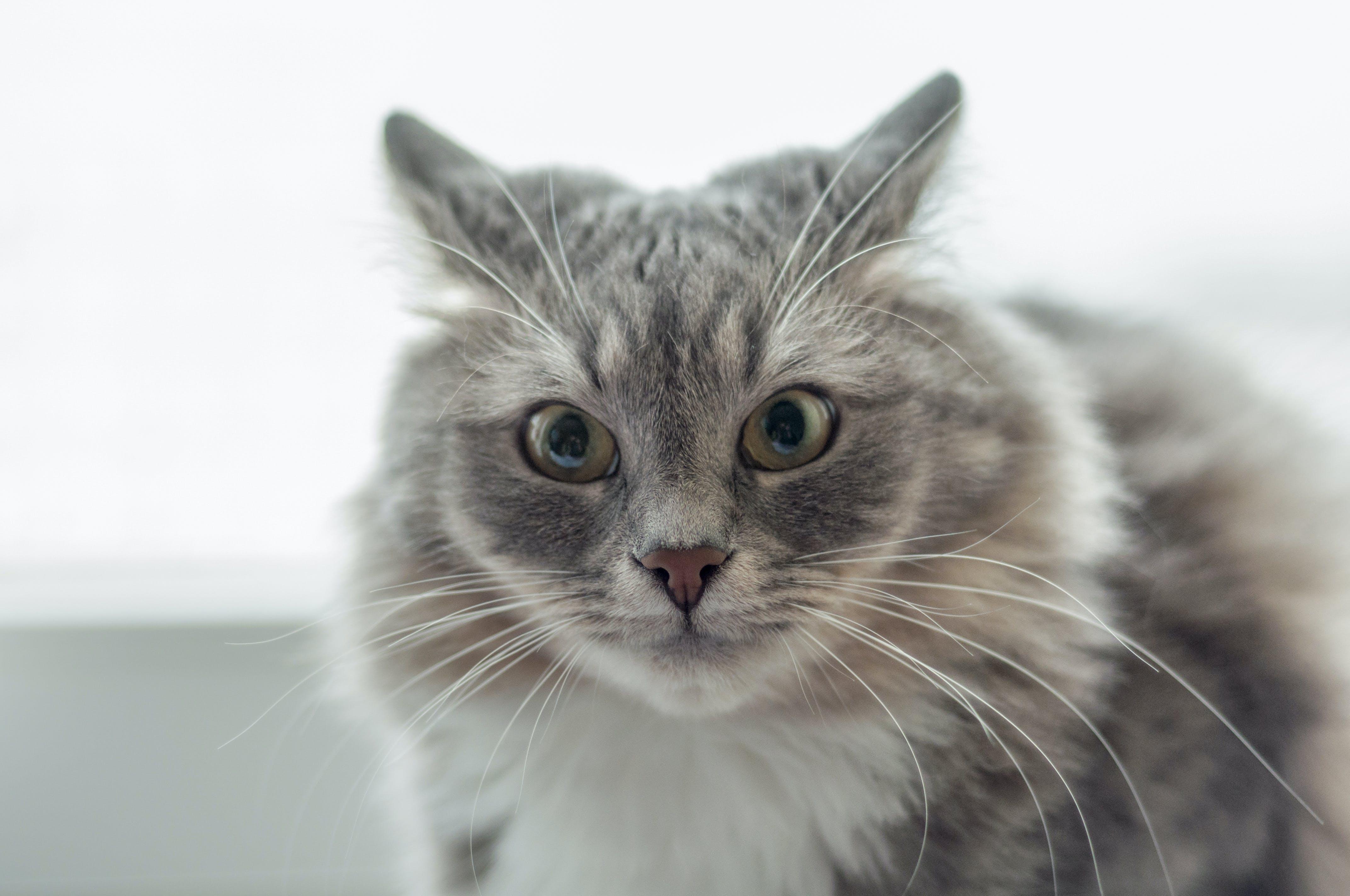 Free stock photo of cat, ears, emotion, fear