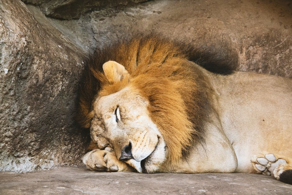 Lion sleeping beside rock