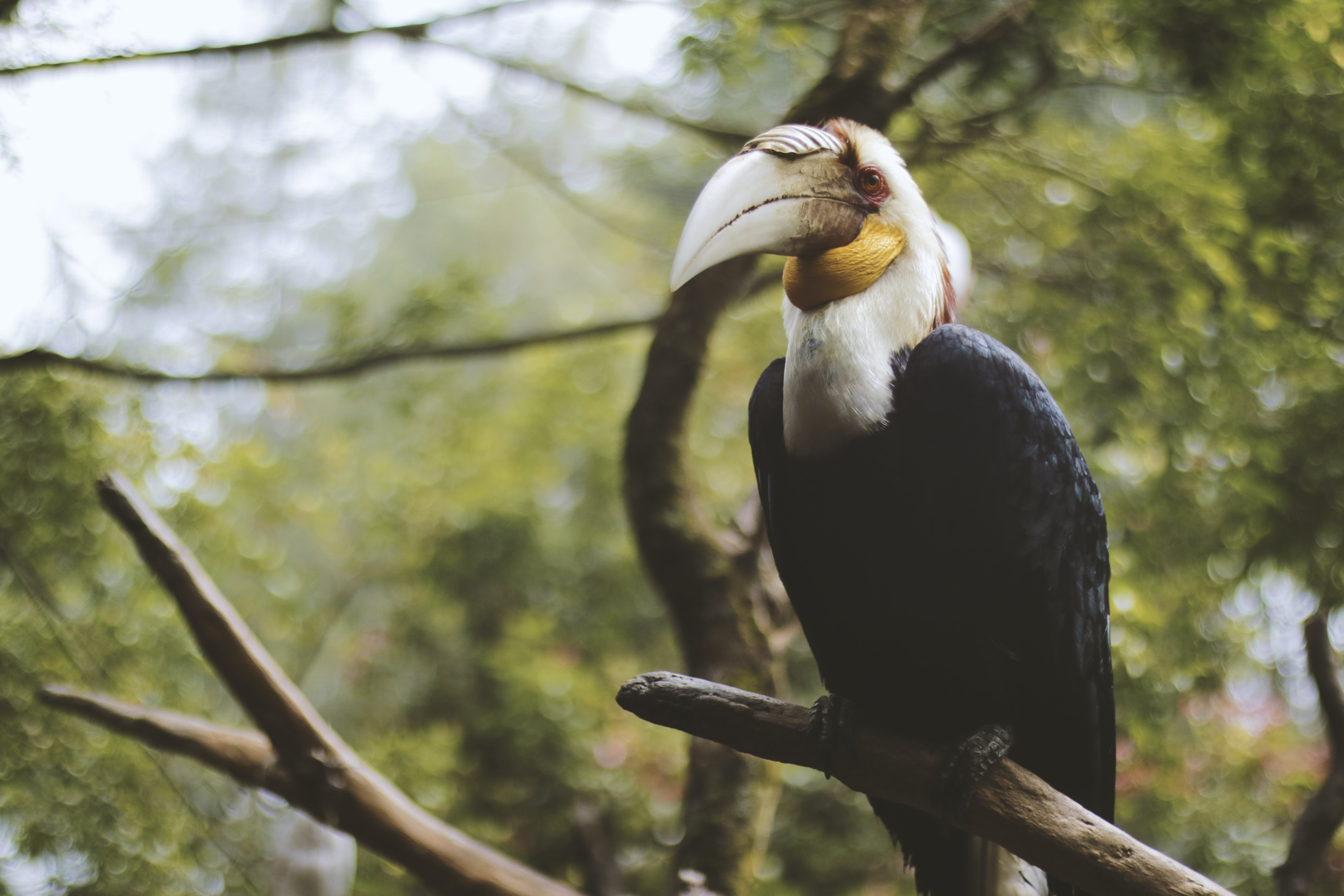 Photo of a Black and White Wreathed Hornbill Perched on a Branch.