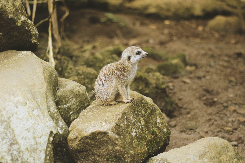 Photo of Brown Meerkat on a Rock.
