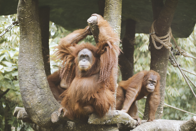 Group Of Orangutan