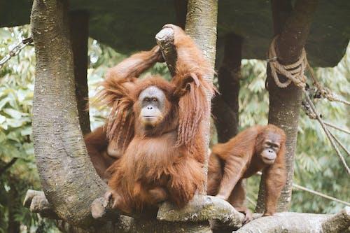 Безкоштовне стокове фото на тему «волохатий, дика природа, зоопарк, Мавпа»