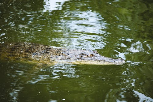 Photo of Crocodile in Water.