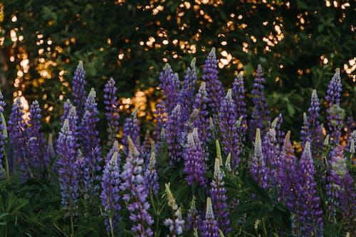 acı baklalar, alan, Bahar çiçekleri, bitki örtüsü içeren Ücretsiz stok fotoğraf