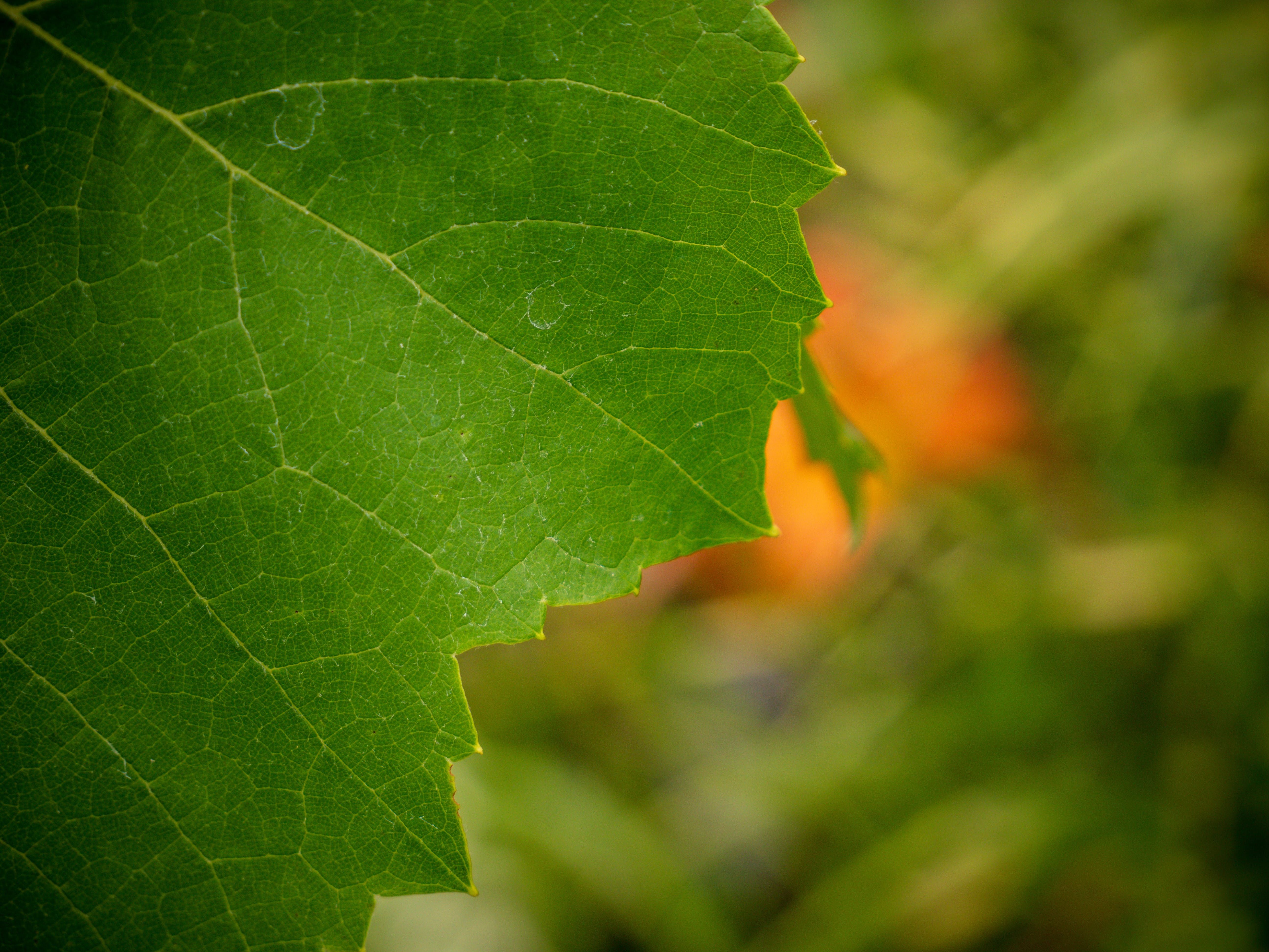 Free stock photo of detail, green, leaf, nature