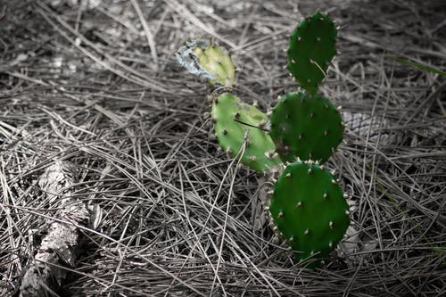 Imagine de stoc gratuită din 1 culoare, cactus, culoare selectivă, Florida