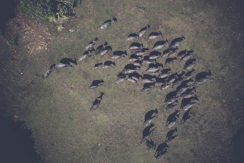Foto d'estoc gratuïta de animals, bestiar, des de dalt, foto aèria