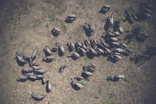 動物, 家畜, 從上面, 空中拍攝 的 免费素材照片