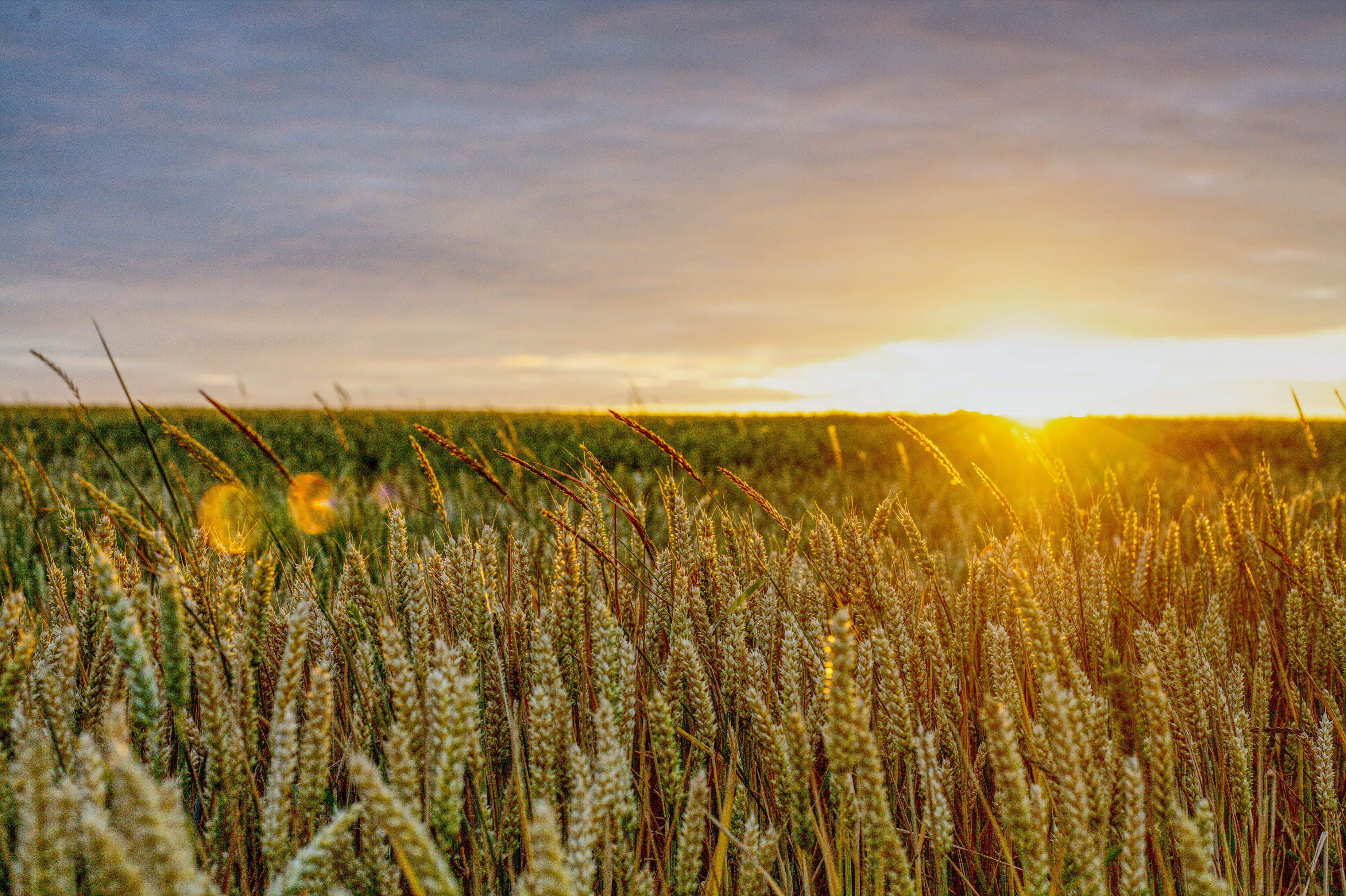 Free stock photo of field, golden sunset, lens flare, sunset